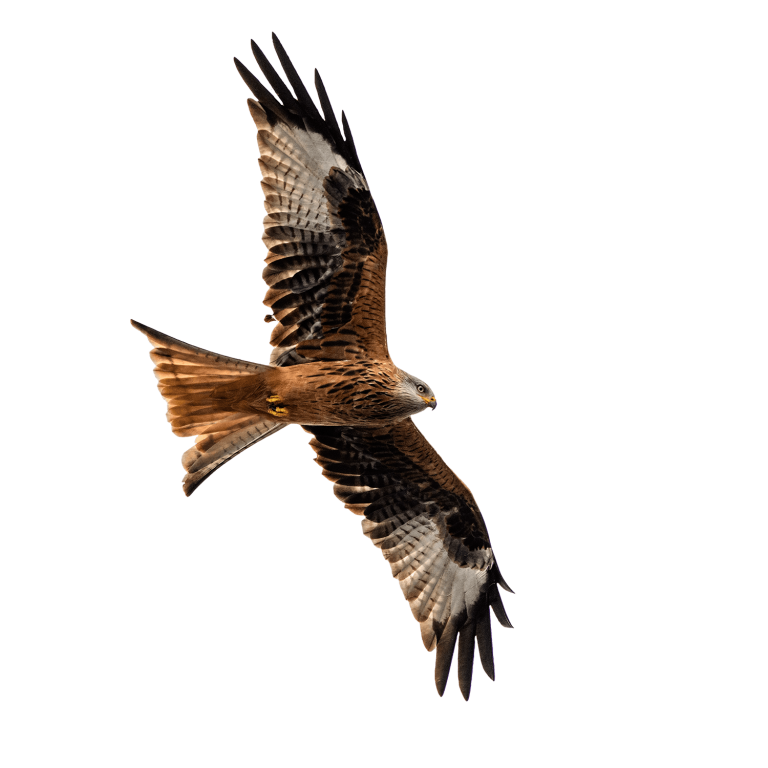 Red Kite with wings extended for hovering