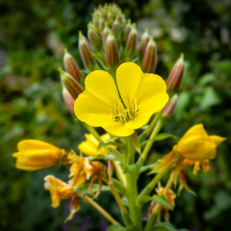 Beautiful flower at Culross Place Garden