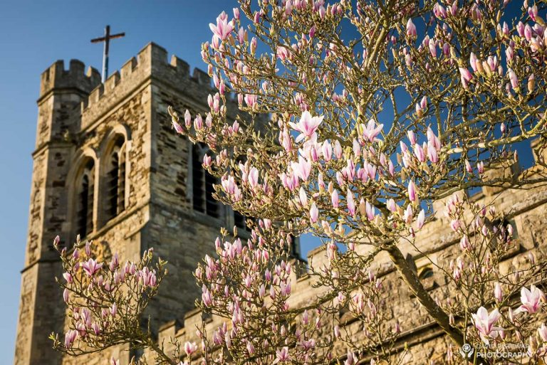Magnolia in Bloom at St Mary's Bletchley - David P Stewart Photography